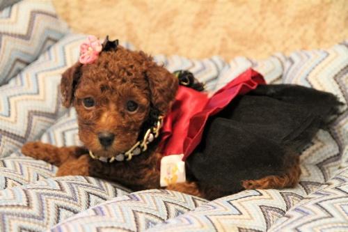 トイプードルの子犬(ID:1257811011)の2枚目の写真/更新日:2017-07-23