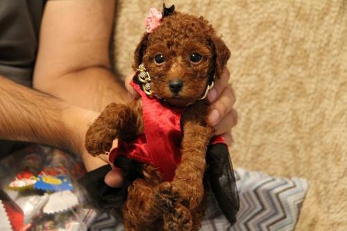 トイプードルの子犬(ID:1257811011)の3枚目の写真/更新日:2017-07-23