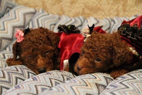 トイプードルの子犬(ID:1257811011)の4枚目の写真/更新日:2017-07-23