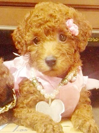 トイプードルの子犬(ID:1257811011)の5枚目の写真/更新日:2017-08-11