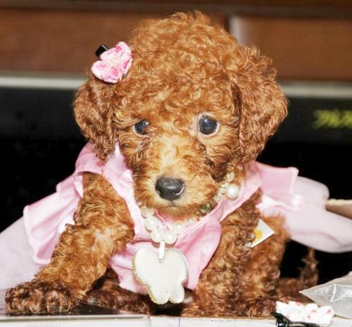 トイプードルの子犬(ID:1257811011)の6枚目の写真/更新日:2017-08-11