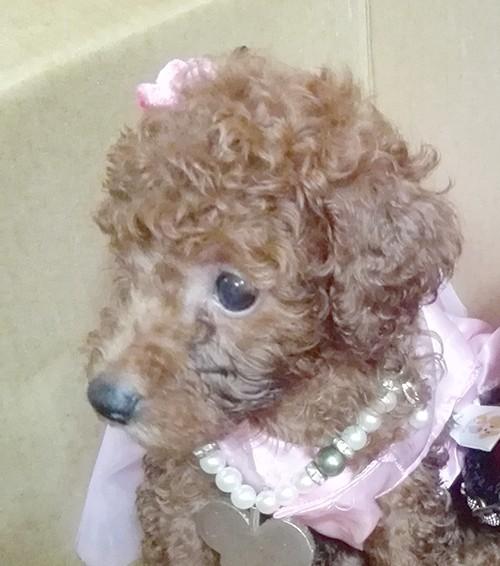 トイプードルの子犬(ID:1257811011)の7枚目の写真/更新日:2017-08-11