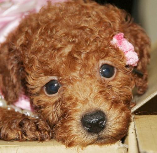 トイプードルの子犬(ID:1257811011)の8枚目の写真/更新日:2017-08-11