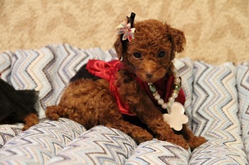 トイプードルの子犬(ID:1257811012)の1枚目の写真/更新日:2017-07-23