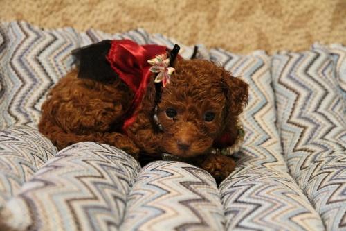 トイプードルの子犬(ID:1257811012)の2枚目の写真/更新日:2017-07-23