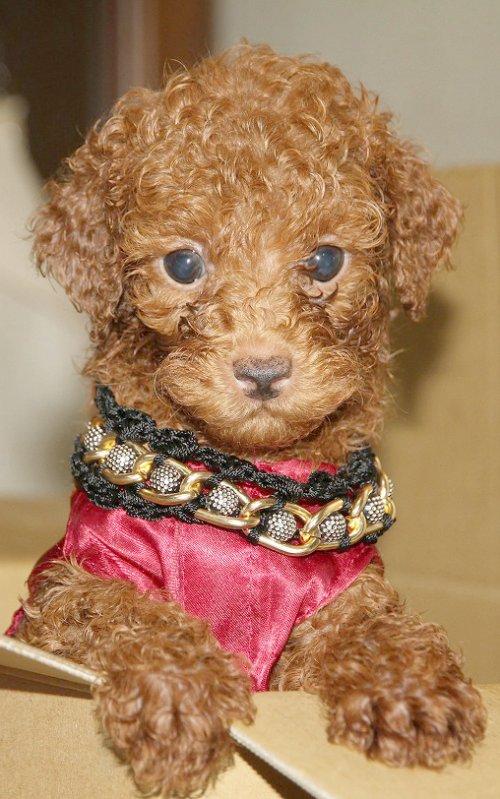 トイプードルの子犬(ID:1257811012)の4枚目の写真/更新日:2017-08-11