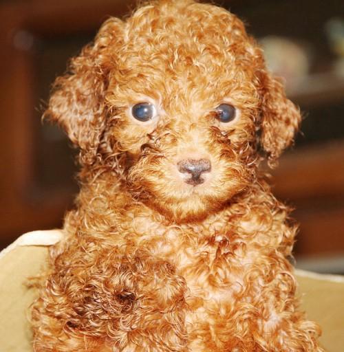 トイプードルの子犬(ID:1257811012)の5枚目の写真/更新日:2017-08-11