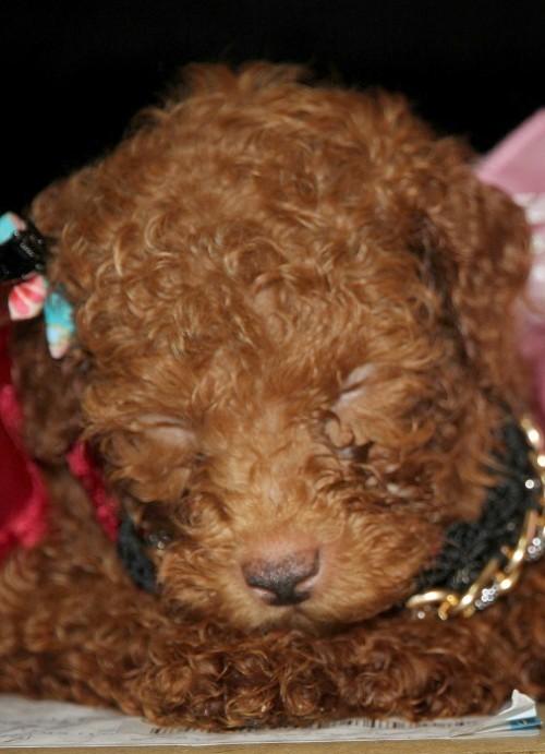 トイプードルの子犬(ID:1257811012)の6枚目の写真/更新日:2017-08-11