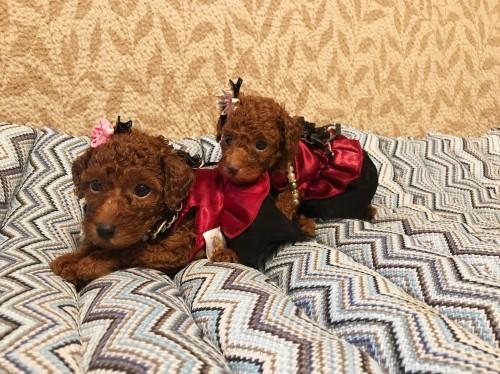 トイプードルの子犬(ID:1257811012)の7枚目の写真/更新日:2017-08-11