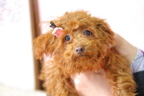 トイプードルの子犬(ID:1257811014)の1枚目の写真/更新日:2020-01-17
