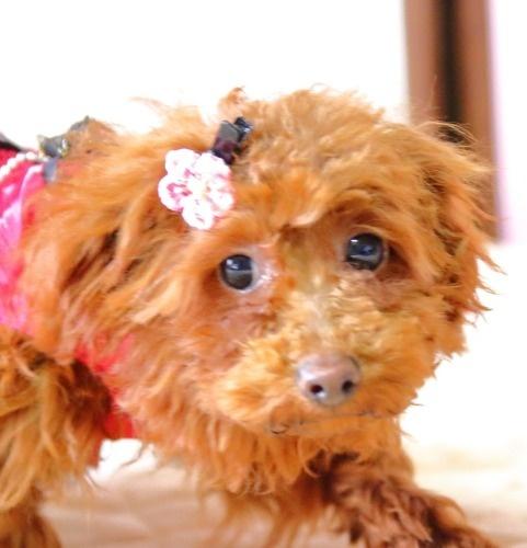 トイプードルの子犬(ID:1257811014)の3枚目の写真/更新日:2020-01-17