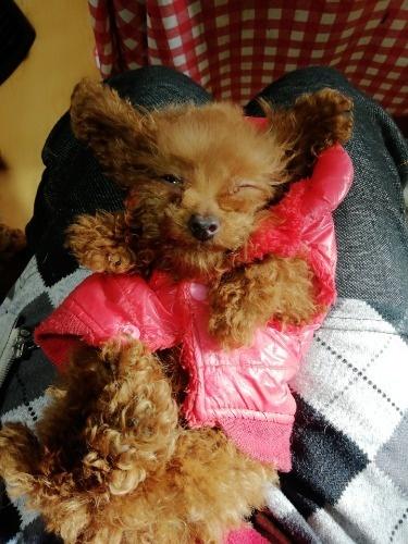 トイプードルの子犬(ID:1257811016)の2枚目の写真/更新日:2020-01-15