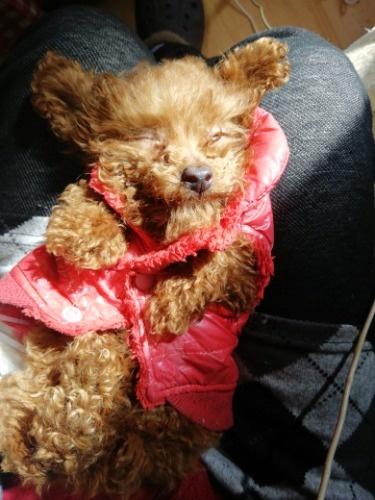トイプードルの子犬(ID:1257811016)の4枚目の写真/更新日:2020-01-15