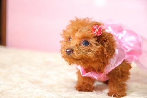 トイプードルの子犬(ID:1257811016)の5枚目の写真/更新日:2020-01-17