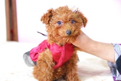 トイプードルの子犬(ID:1257811017)の1枚目の写真/更新日:2020-01-18