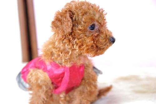 トイプードルの子犬(ID:1257811017)の2枚目の写真/更新日:2020-01-17