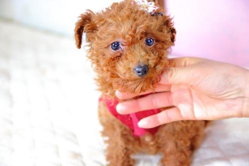 トイプードルの子犬(ID:1257811017)の4枚目の写真/更新日:2020-01-18