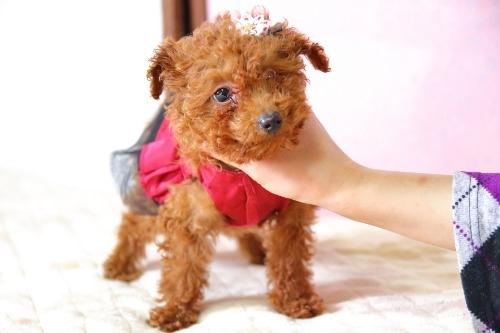 トイプードルの子犬(ID:1257811017)の5枚目の写真/更新日:2020-01-18