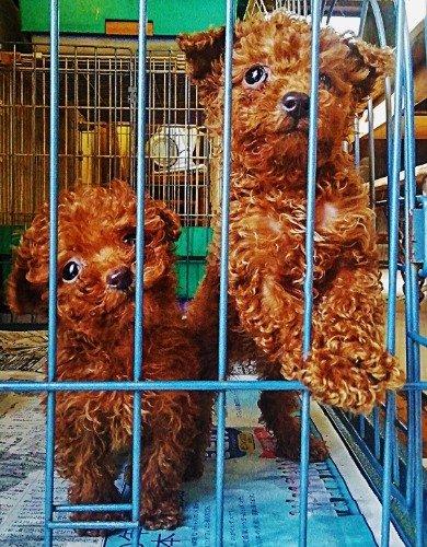 トイプードルの子犬(ID:1257811017)の6枚目の写真/更新日:2019-12-20