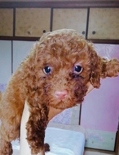 トイプードルの子犬(ID:1257811018)の1枚目の写真/更新日:2020-06-17