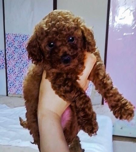 トイプードルの子犬(ID:1257811019)の1枚目の写真/更新日:2020-06-17
