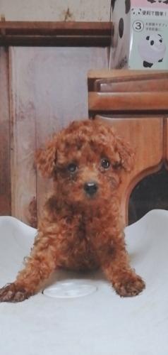 トイプードルの子犬(ID:1257811020)の1枚目の写真/更新日:2020-06-17