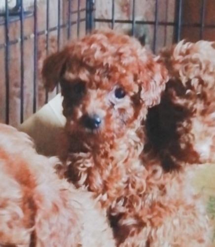 トイプードルの子犬(ID:1257811020)の2枚目の写真/更新日:2020-06-17