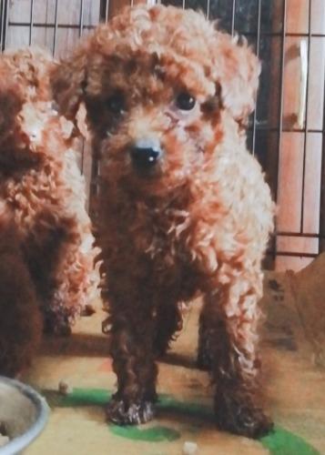 トイプードルの子犬(ID:1257811020)の3枚目の写真/更新日:2020-06-17
