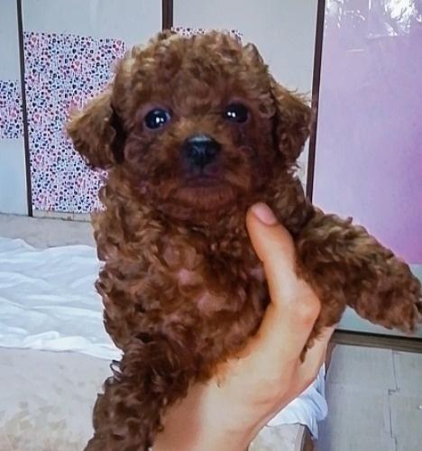 トイプードルの子犬(ID:1257811020)の4枚目の写真/更新日:2020-06-17