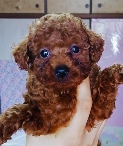 トイプードルの子犬(ID:1257811020)の5枚目の写真/更新日:2020-06-17