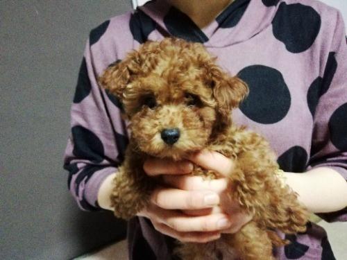 トイプードルの子犬(ID:1257811021)の1枚目の写真/更新日:2021-05-28