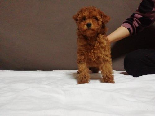トイプードルの子犬(ID:1257811021)の2枚目の写真/更新日:2021-05-28
