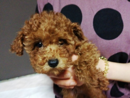トイプードルの子犬(ID:1257811021)の3枚目の写真/更新日:2021-05-28