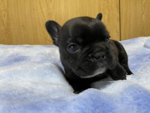 フレンチブルドッグの子犬(ID:1258111001)の3枚目の写真/更新日:2021-04-23