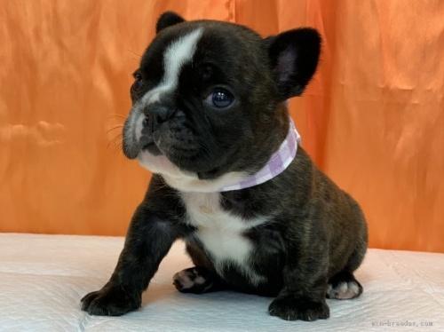 フレンチブルドッグの子犬(ID:1258111002)の2枚目の写真/更新日:2019-10-21