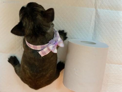 フレンチブルドッグの子犬(ID:1258111002)の3枚目の写真/更新日:2020-01-22