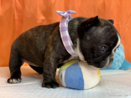 フレンチブルドッグの子犬(ID:1258111002)の4枚目の写真/更新日:2019-10-21