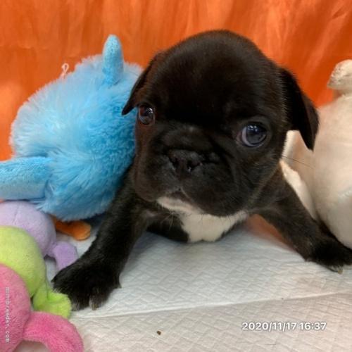 フレンチブルドッグの子犬(ID:1258111003)の3枚目の写真/更新日:2019-10-21
