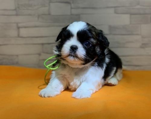 シーズーの子犬(ID:1258111007)の1枚目の写真/更新日:2019-04-30