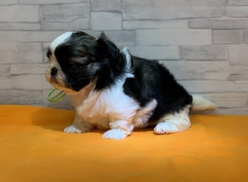 シーズーの子犬(ID:1258111007)の2枚目の写真/更新日:2019-04-30