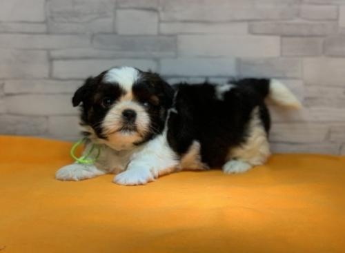 シーズーの子犬(ID:1258111007)の4枚目の写真/更新日:2019-04-30