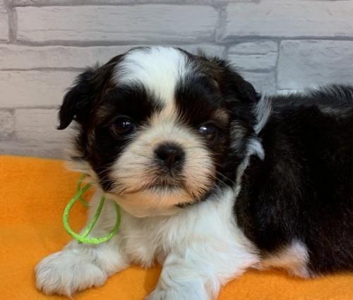 シーズーの子犬(ID:1258111007)の5枚目の写真/更新日:2019-04-30