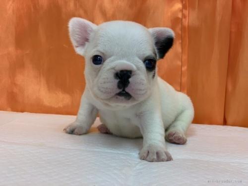 フレンチブルドッグの子犬(ID:1258111011)の1枚目の写真/更新日:2020-01-22