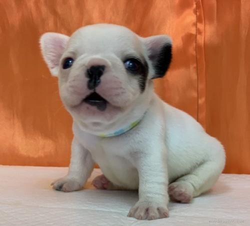 フレンチブルドッグの子犬(ID:1258111011)の4枚目の写真/更新日:2020-01-22