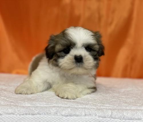 シーズーの子犬(ID:1258111012)の3枚目の写真/更新日:2019-04-30
