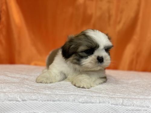 シーズーの子犬(ID:1258111012)の5枚目の写真/更新日:2019-04-30