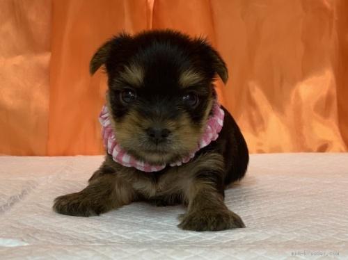 ヨークシャーテリアの子犬(ID:1258111017)の1枚目の写真/更新日:2019-11-05
