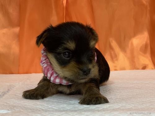 ヨークシャーテリアの子犬(ID:1258111017)の2枚目の写真/更新日:2019-11-05