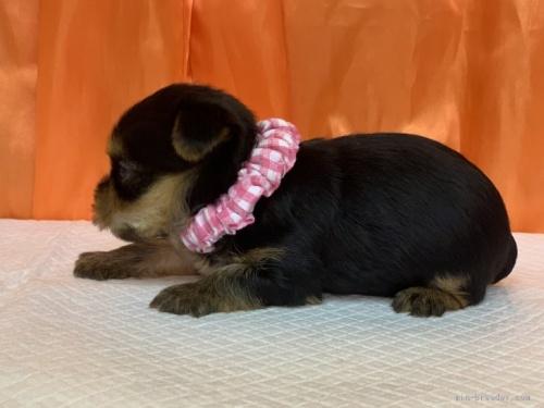 ヨークシャーテリアの子犬(ID:1258111017)の4枚目の写真/更新日:2019-11-05