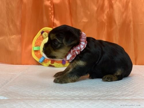 ヨークシャーテリアの子犬(ID:1258111018)の2枚目の写真/更新日:2019-11-05